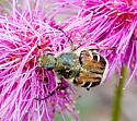 Flower scarab - Trichiotinus piger