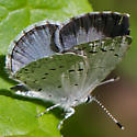 azure - Celastrina - female