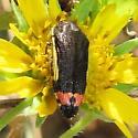 Yellow-bordered Flower Buprestid - Acmaeodera flavomarginata