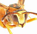 Polistes sp.  - Polistes rubiginosus - male