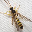 Ichneumon Wasp - Colpotrochia texana - male