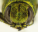 Agrilus arizonicus - male