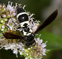 Wasp on mint - Pseudodynerus quadrisectus