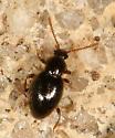 Ant-like stone beetle? - Stenichnus