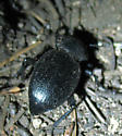 Tenebrionidae - Eleodes scabricula