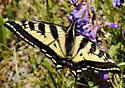 Western Tiger Swallowtail_Papilio rutulus - Papilio rutulus