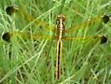 17th Dragon of the Season 1a - Libellula flavida - female