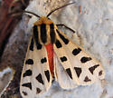 orange-bodied moth white wings with large black spots - Notarctia proxima