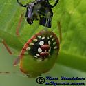 Southern Green Stink Bug molting - Nezara viridula