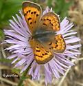 Lycaena florus (ssp. sangremar) - Lycaena dorcas - female