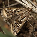 Moth in the grass - Loxostege cereralis