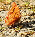 Question mark butterfly - Polygonia interrogationis