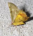 moth - Erastria decrepitaria - female