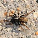 Spider - Allocosa