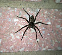 Could someone ID this spider for me please?  Thank you - Dolomedes tenebrosus