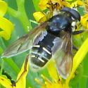 Fly that's black with white markings - Sericomyia militaris