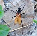Tarantula Hawk - Pepsis - female