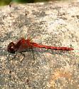 Cherry-faced Meadowhawk - Sympetrum internum - male