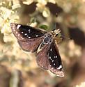 Mojave Sootywing - Hesperopsis libya