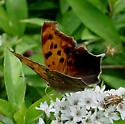 Probable Question Mark Butterfly - Polygonia interrogationis