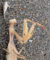 Moribund mantis on beach - Mantis religiosa - female