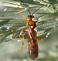 Long-bodied orange wasp