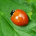 Ladybird beetle without spots - Cycloneda sanguinea