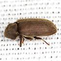 Death Watch Beetle - Priobium sericeum
