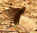 Juvenal's duskywing skipper butterfly - Erynnis juvenalis