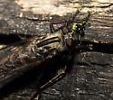 Robber Fly killing Damselfly - Efferia aestuans