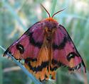 Mystery moth? in Bozeman MT - Hemileuca eglanterina