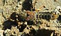 Is this Rove Beetle Platydracus? - Platydracus maculosus