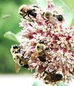 Bumbles on milkweed - Bombus griseocollis - male