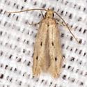 Concealer Moth - Hodges #1062 - Carolana ascriptella