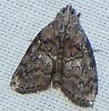 Pococera euphemella - Pococera