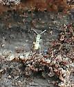 Zoraptera - Zorotypus