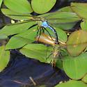 Eastern Pondhawk (s) Mating/ovidepositing - Anax junius - male - female