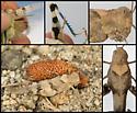 Fontana Grasshopper - Trimerotropis fontana - female