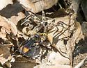 Spider Wasp with Prey - Entypus unifasciatus - female