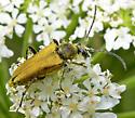 golden flower longhorn - Lepturobosca chrysocoma