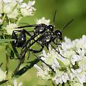 Wasp built for speed - Eremnophila aureonotata