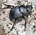 Canthon sp.?  - Canthon