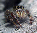 Jumping Spider - Phidippus