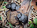 Dung Beetles - Canthon