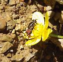 Fly - Chalcosyrphus libo