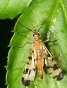 Scorpionfly - Panorpa speciosa - female