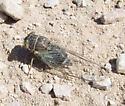 unkn Cicada - Diceroprocta apache-cinctifera-semicincta