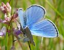 Silvery blue - Glaucopsyche lygdamus - male