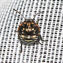 Thyanta custator - Red-shouldered Stink Bug nymph?? - Thyanta