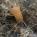Ant cricket - Myrmecophilus